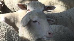 Japánba szállítják a somogyi bárányhúst