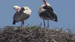 Kihalófélben vannak a fecskék és a gólyák