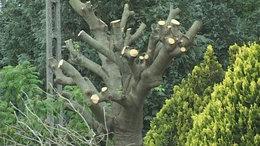 Tarra vágták a fákat Kaposfüreden a vezetékek miatt