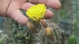 Ezernyi kaktusz borult virágba