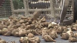 Felborult egy cukorrépaszállító kamion Mosdóson