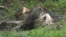 Kóbor állatok tizedelik a kaposvári állatsimogató lakóit