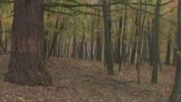 Sissi fák - Rinyabesenyő
