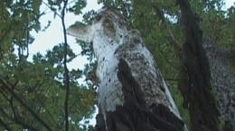 Patkó Bandi fája - Barcs