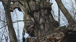 Öreg hárs-az Év fája - Felsőmocsolád
