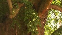 700 éves hársfa - Szőkedencs