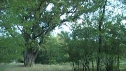 Ilyen volt Patkó Bandi fája